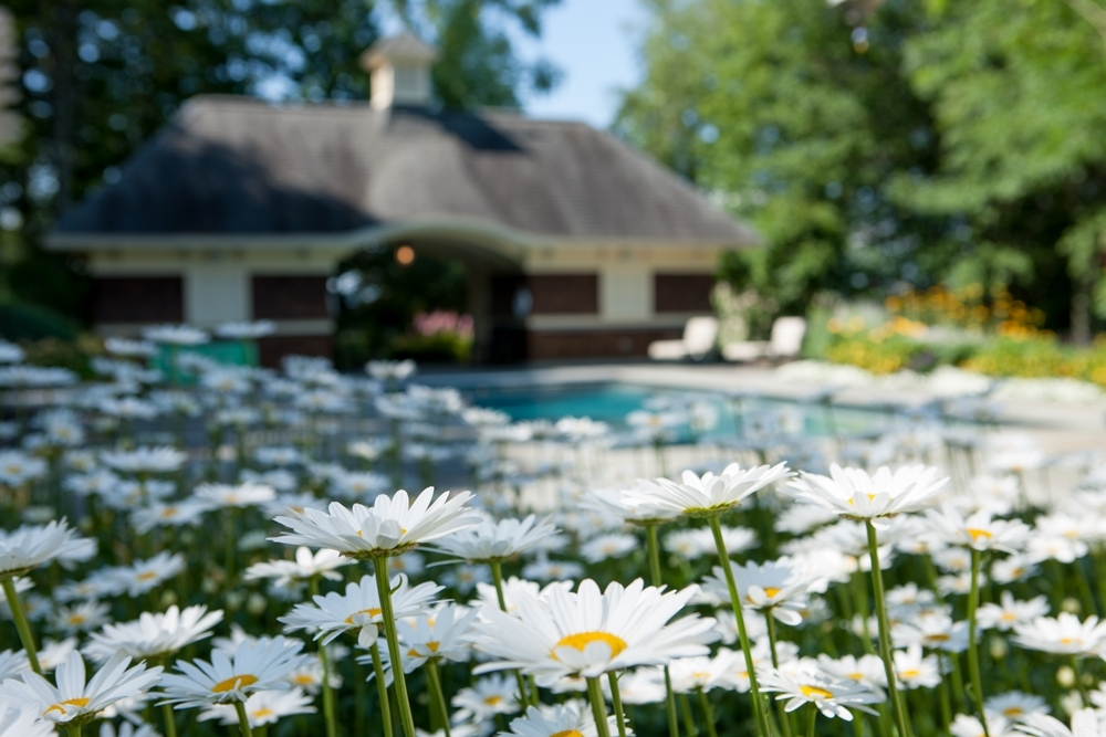 Bershire-pool-with-shasta-daisy