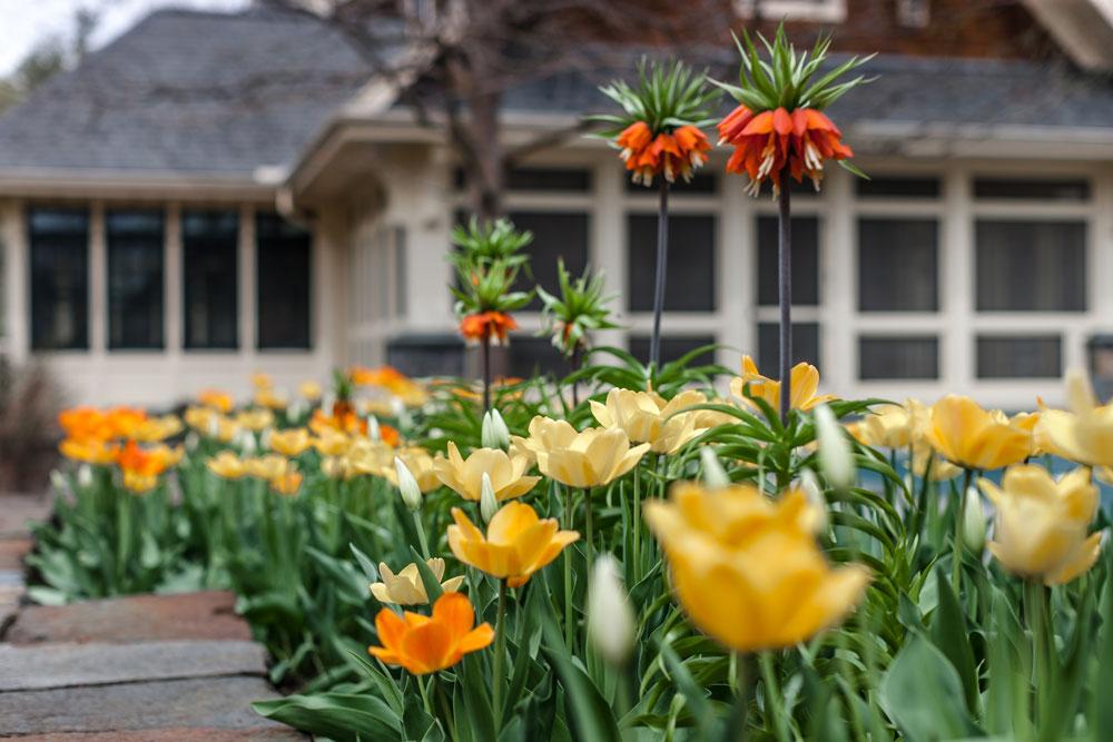 Fritilaria-and-Tulips