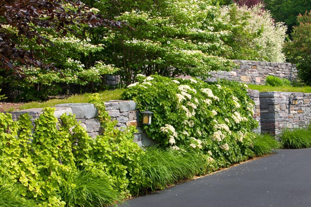 Granite-wall,-climbing-hydrangea,-viburnum-