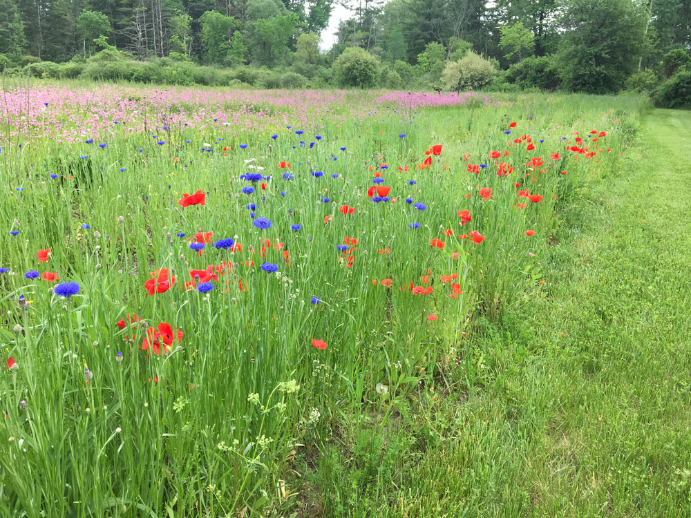 Wildflower-garden,-spring–Poppies,-cornflower,-and-ragged-robin
