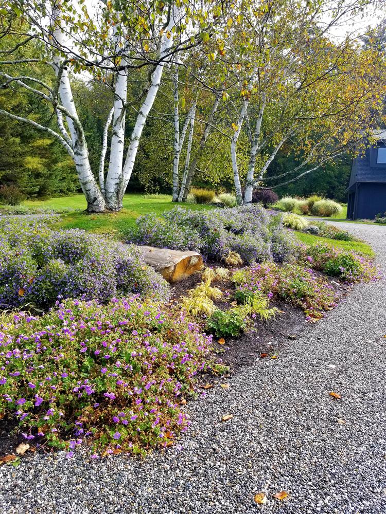 Birch-Island-w_-Geranium-and-Aster