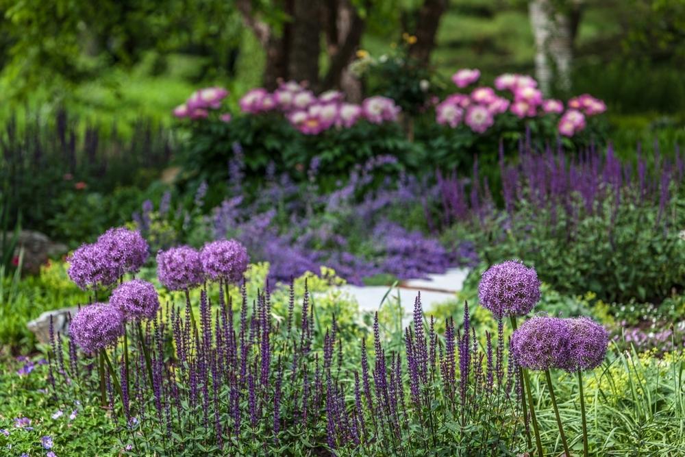 PerennialGarden-Allium,-salvia,-nepeta,-peony