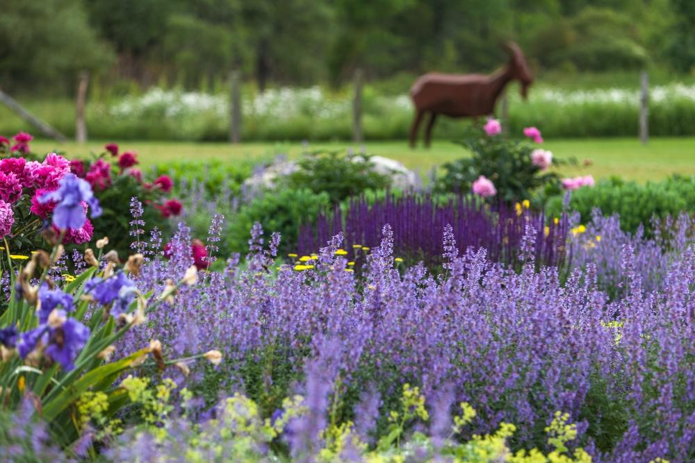 PerennialGarden-Nepeta_Salvia_Peony