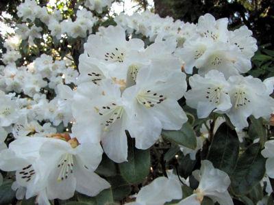 Snow Lady Bloom