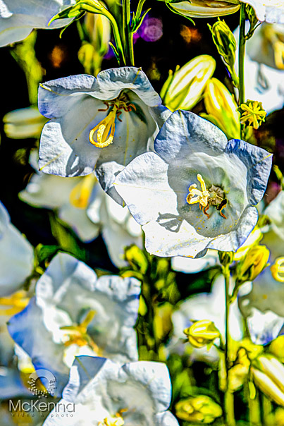Flower_2616_copy