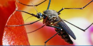 File Photo Mosquito 2