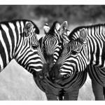 Zebra heard write the perfect pitch letter