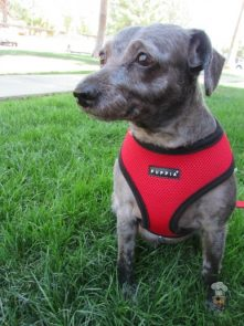 {Puppia Soft Harness} review Krazy For Pets