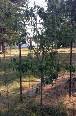 Fruit Tree Planting