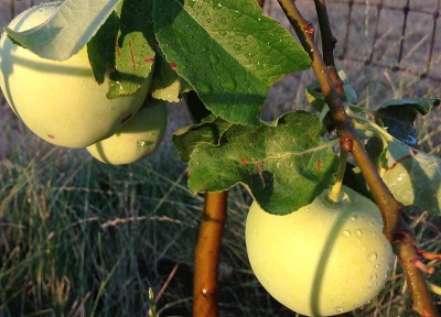 Fruit Tree Pruning and Planting