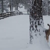 bobs-deer-pic_1