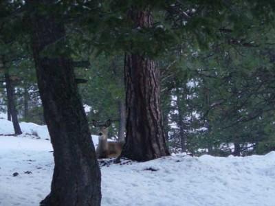 Idaho County Trees