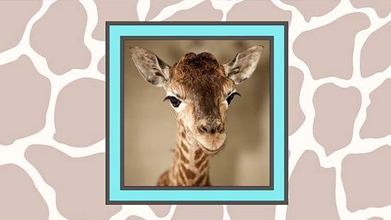 Congratulations toApril the Giraffe