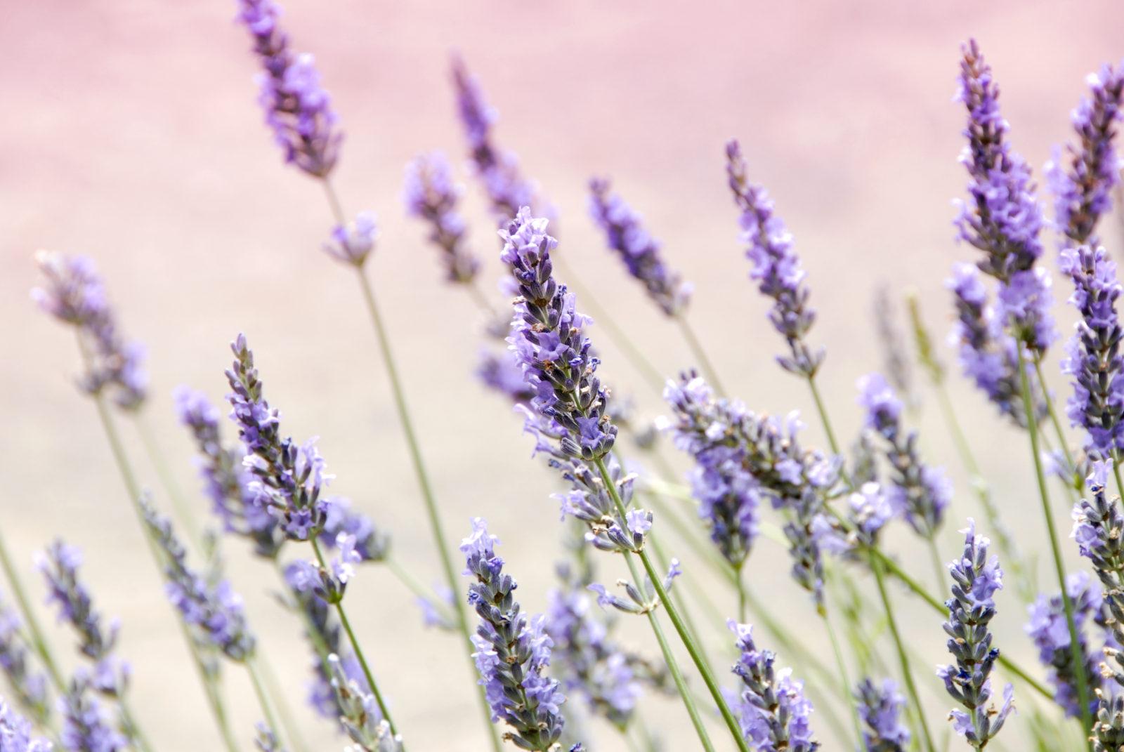 Lavender and Linalool