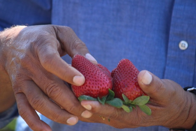 Oxnard CA Strawberries