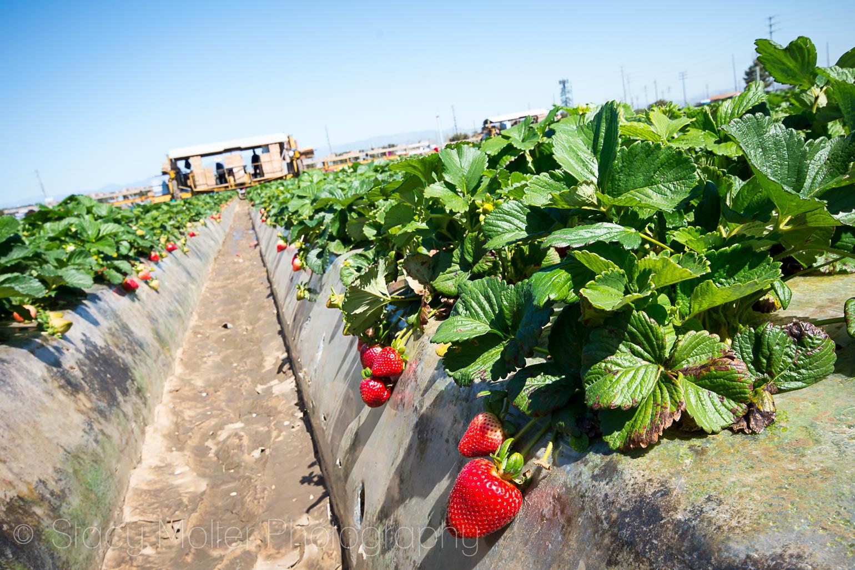 Oxnard California Strawberries