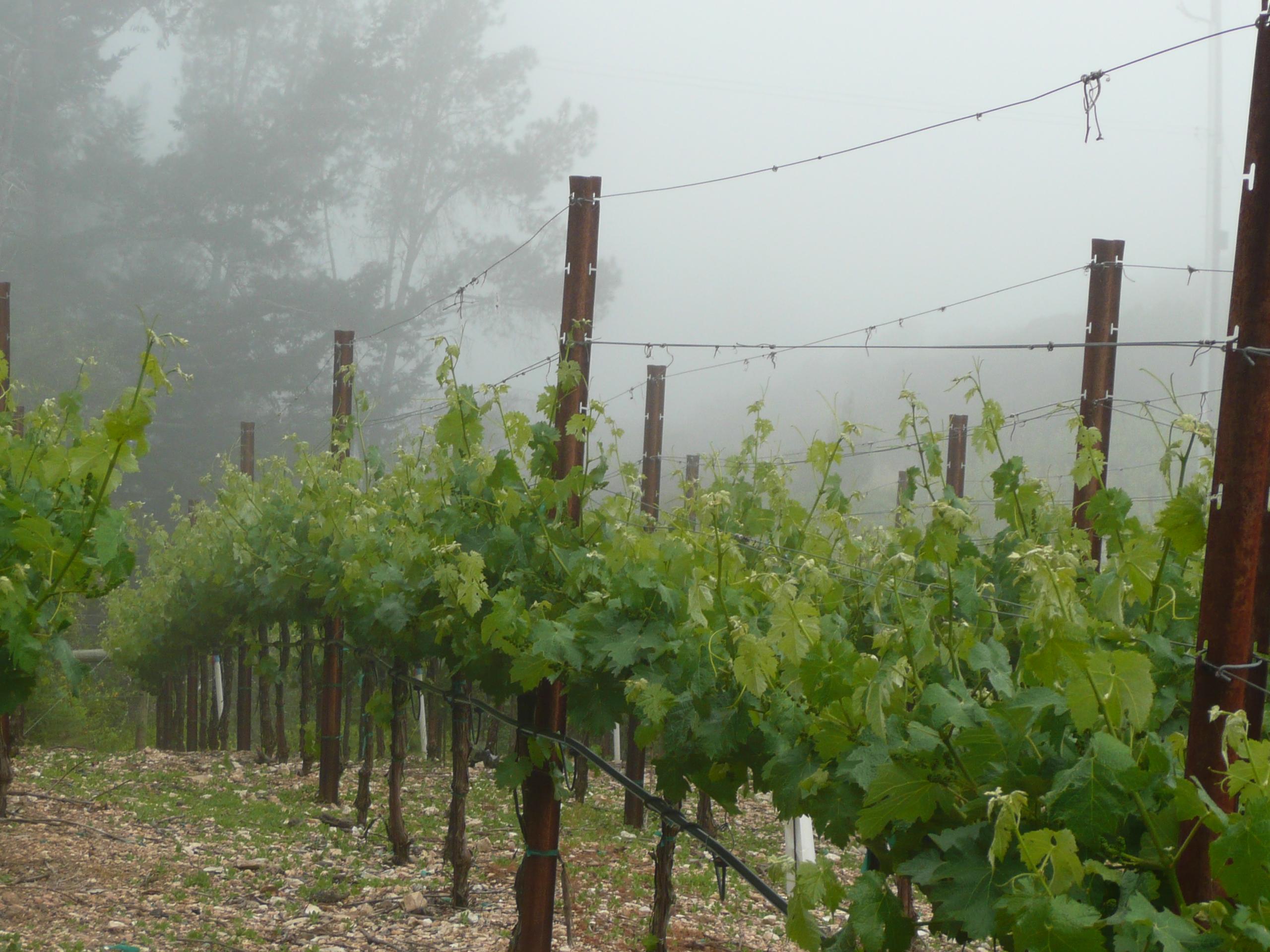 Cabernet sauvignon-wine-vines-mueller-family-diamond mountain