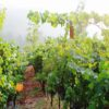 summer grapevines