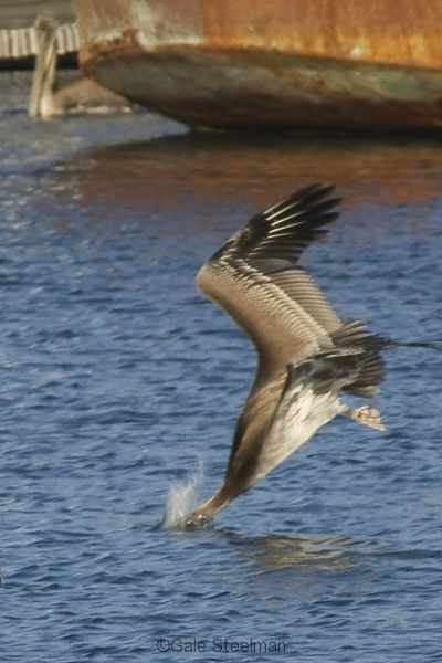 Brown Pelican Diving