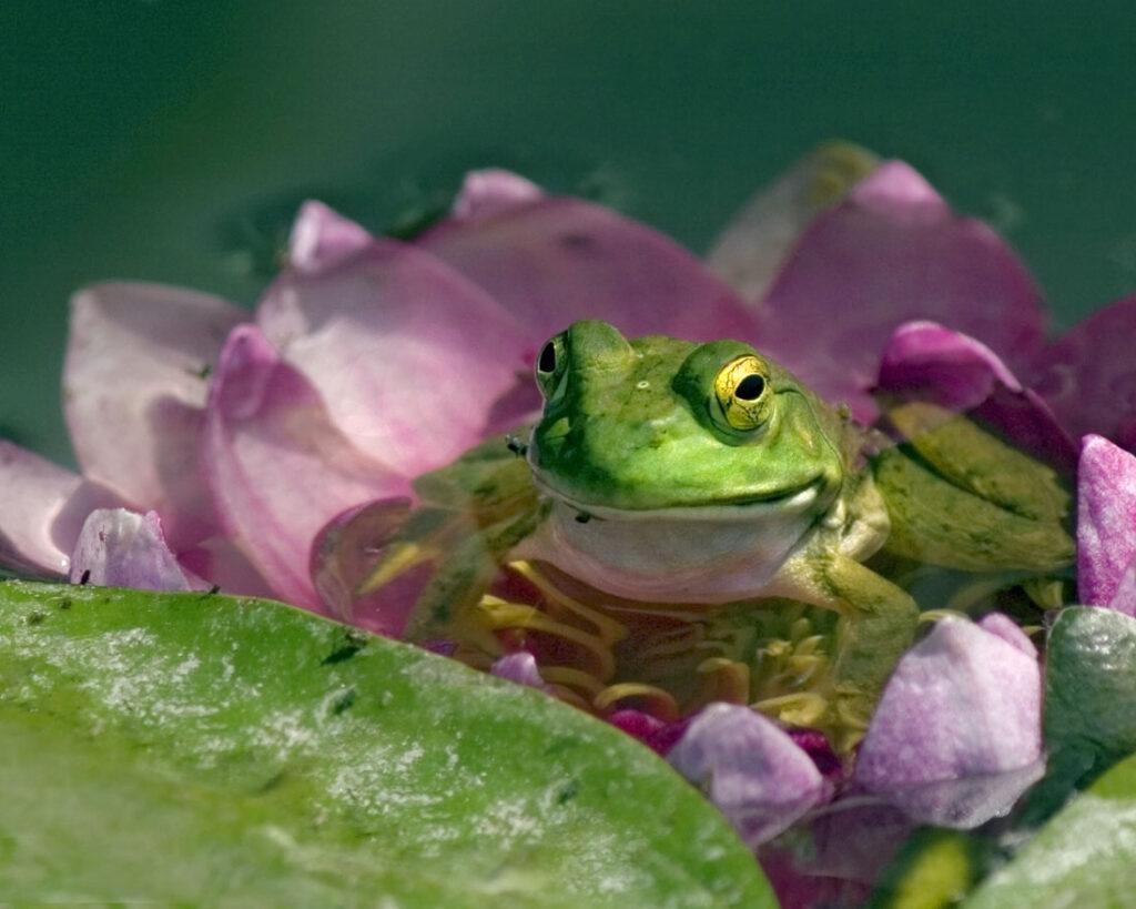 American Bullfrog Juvenile