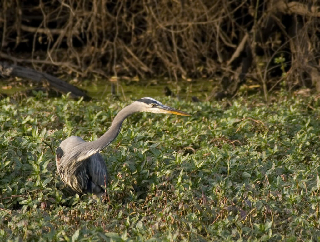 Great Blue Heron Hunting Frogs