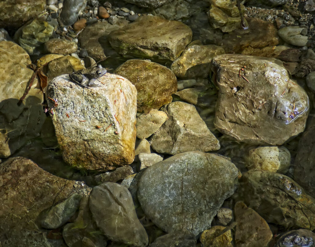 Frog on Rocks at Stout Park