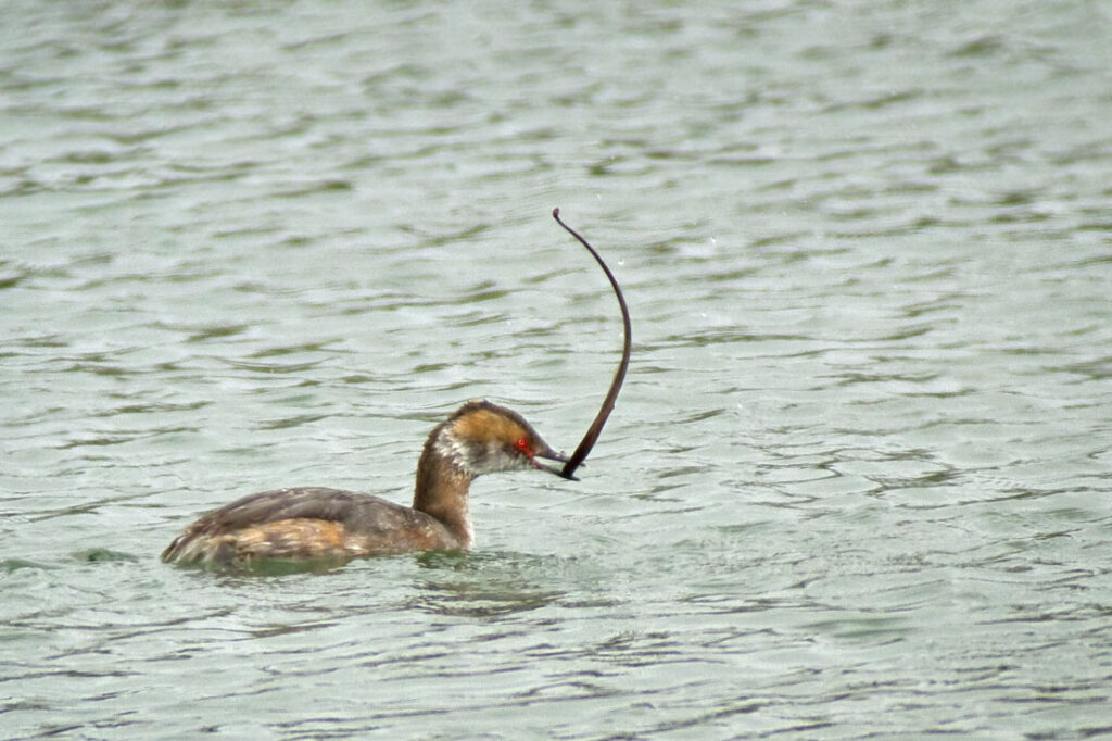 Grebe Hunting Eel