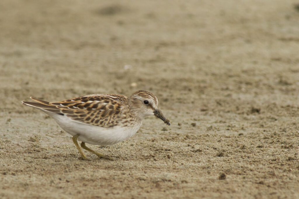 Least Sandpiper_MG_0037