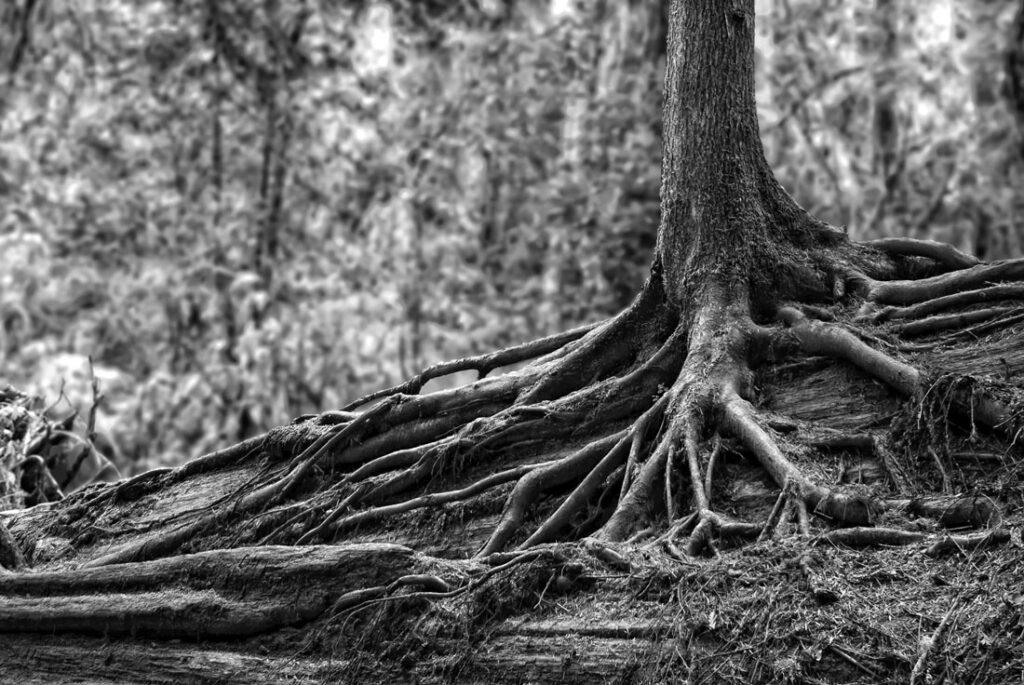 Tree Growing off of Dead Redwood