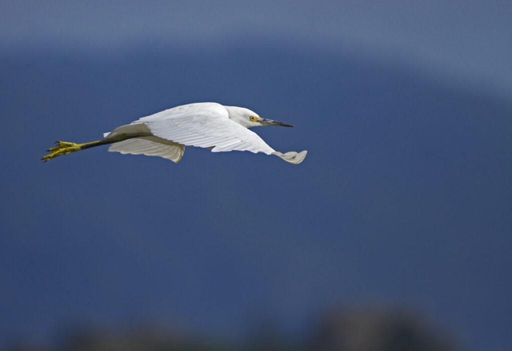 Snowy Egret Juvenile