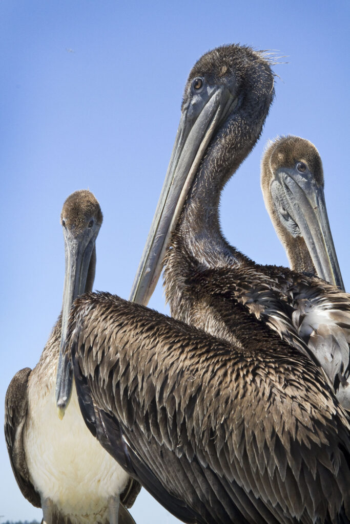 Brown Pelican Juveniles