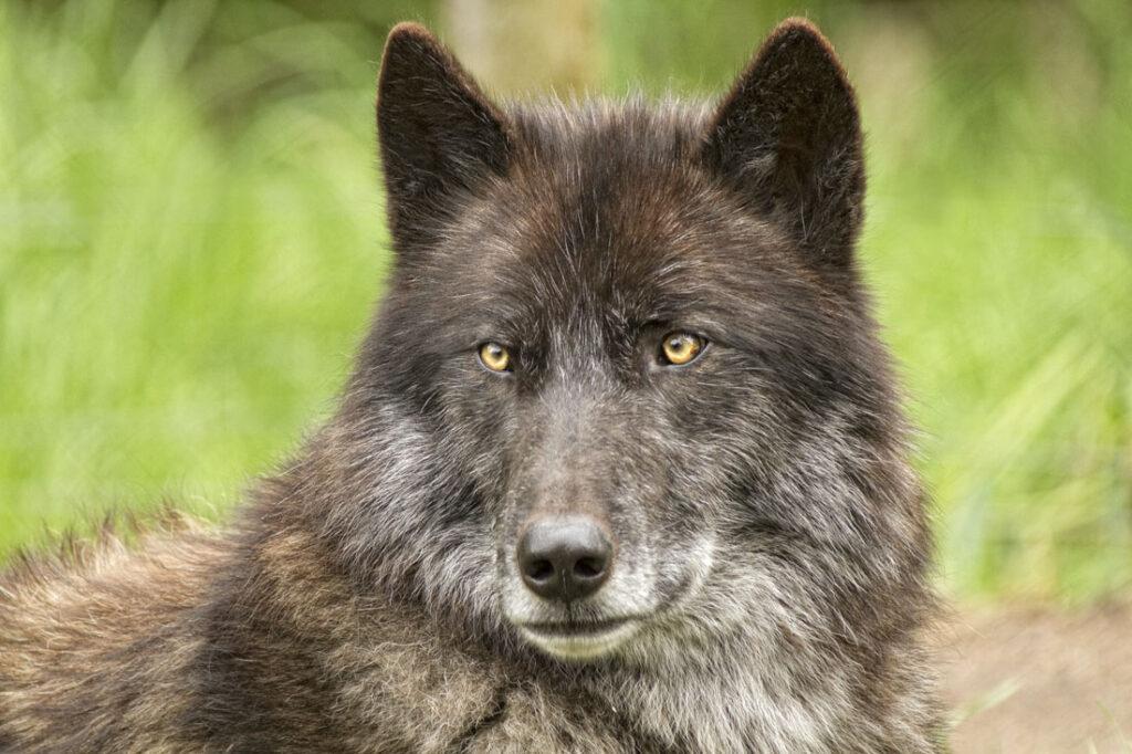 Black Timer Wolf