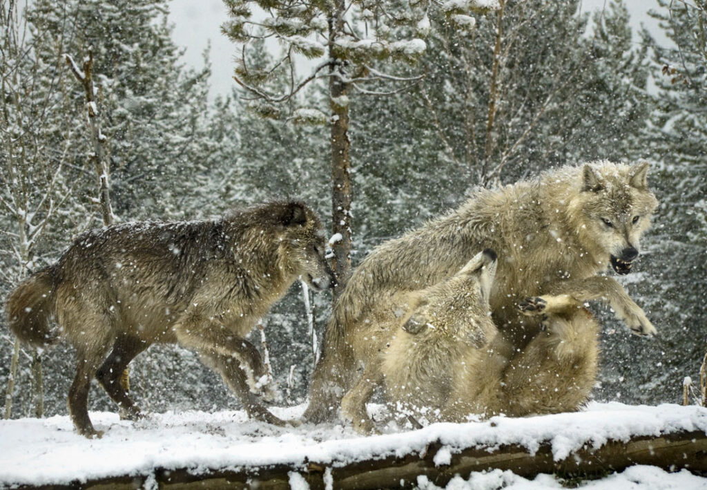 Timber Wolves Playing