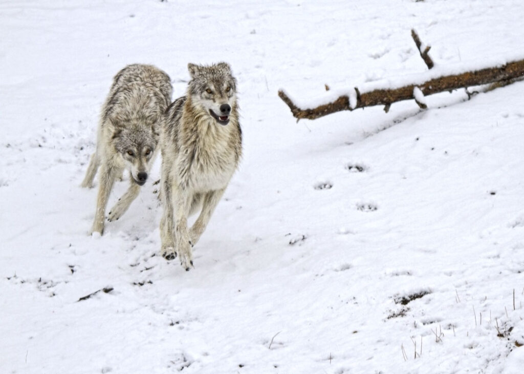 Timber Wolves Running