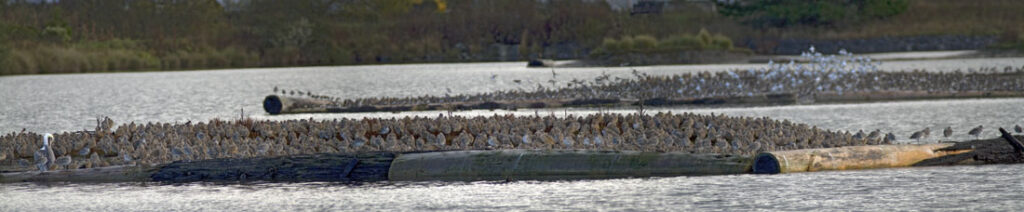Arcata Marsh Bird Migration