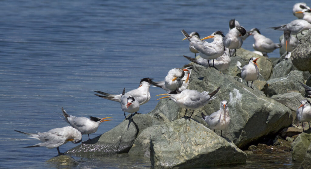 Elegant Terns Migrating