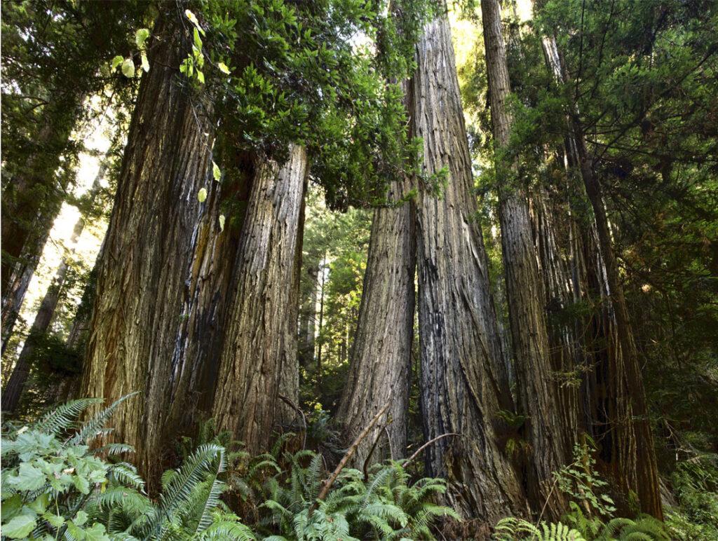 Row of redwoods