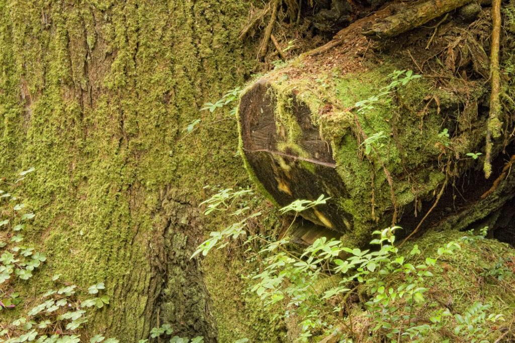 Redwood Tree Log
