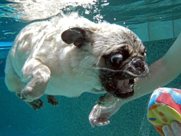dog-diving-under-water (14)