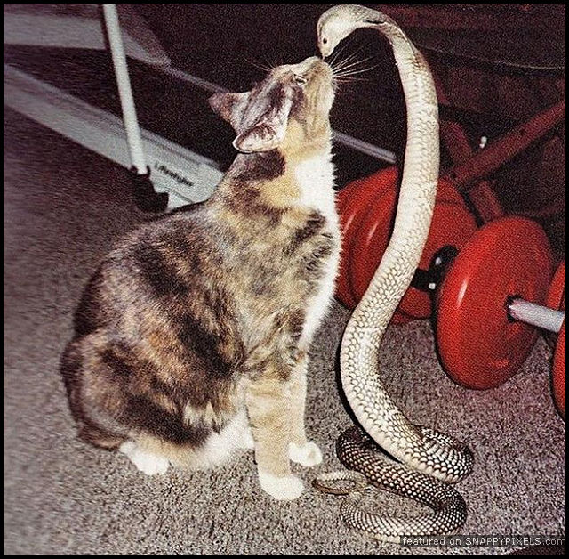 Cat vs Cobra