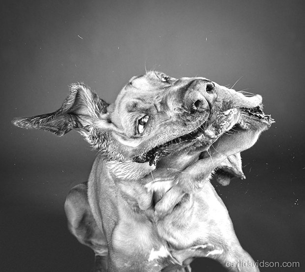 dogs-shaking-heads-pictures-carli-davidoson-15