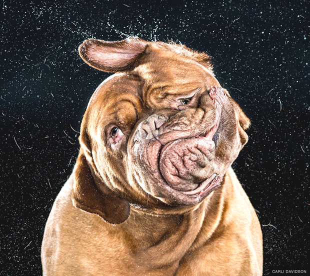 15 Interesting Photos of Dogs Shaking Their Heads