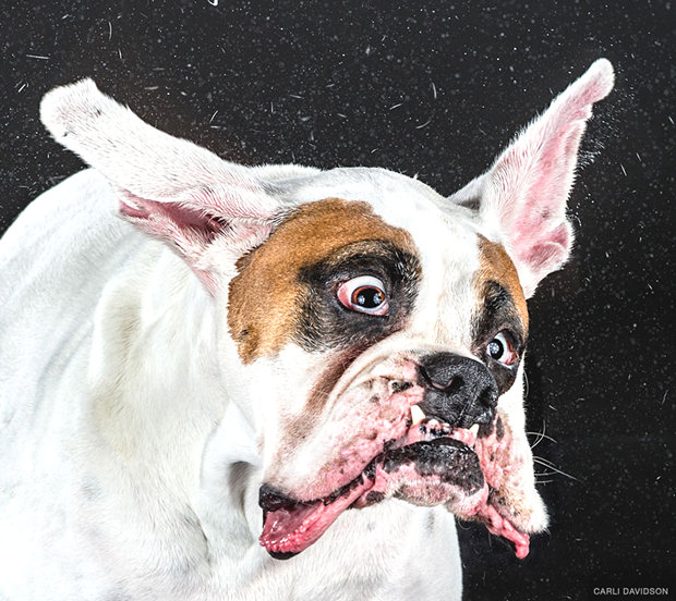 dogs-shaking-heads-pictures-carli-davidoson-3