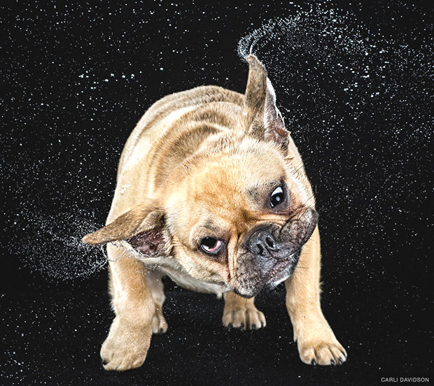 dogs-shaking-heads-pictures-carli-davidoson-7