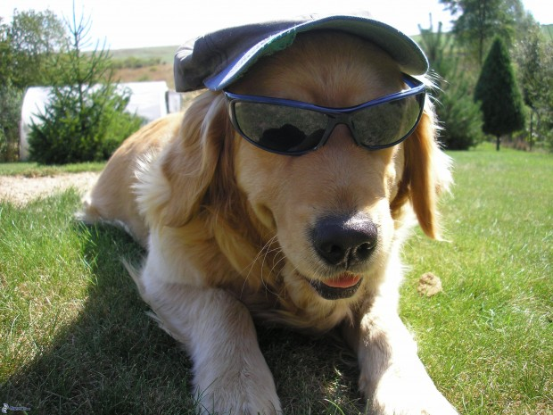 retriever in sunglasses