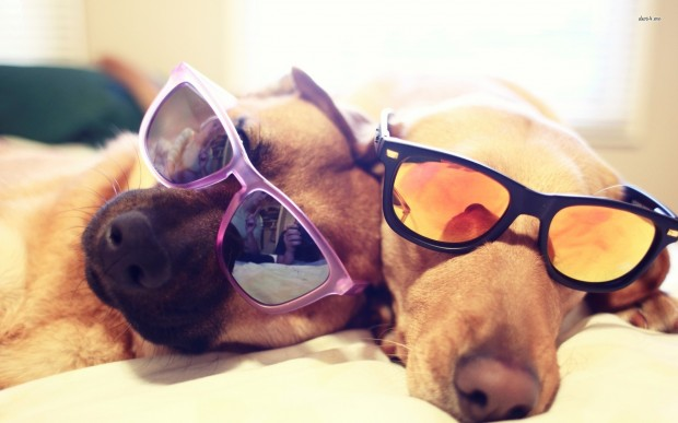 retrievers-with-sunglasses-1920x1200-animal-wallpaper
