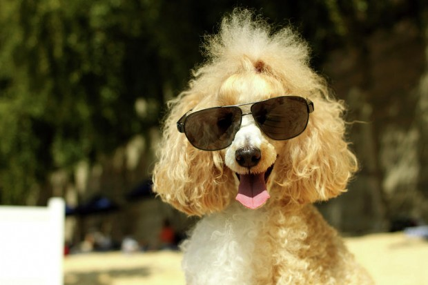smiling-poodle-wearing-sunglasses-on-beach-stephanie-graf-vocat--sgv-photography