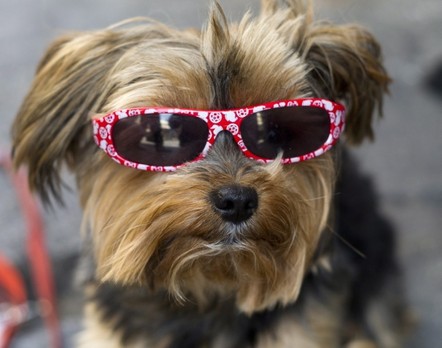 terrier-wearing-sunglasses