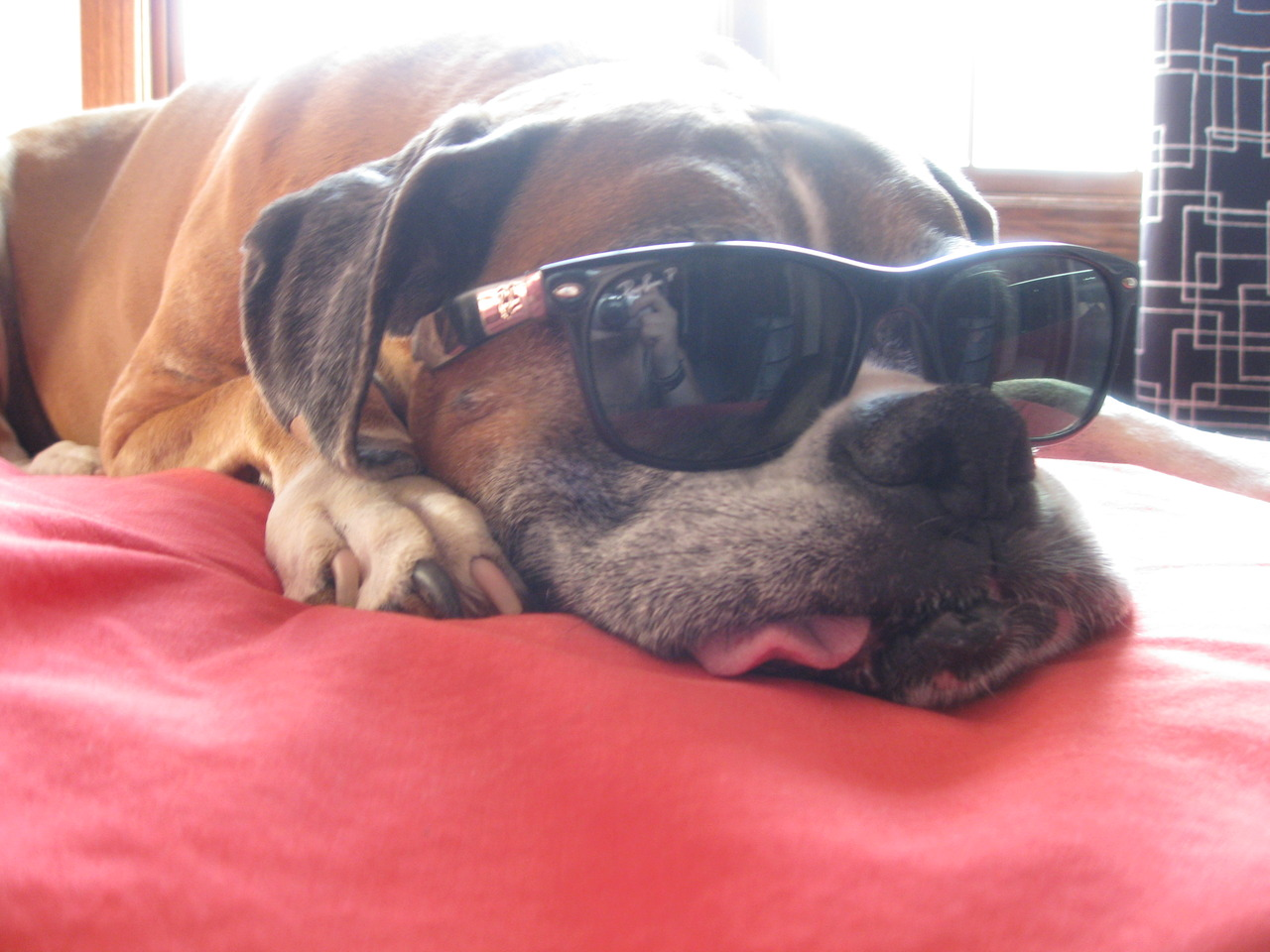 tired dog with sunglasses