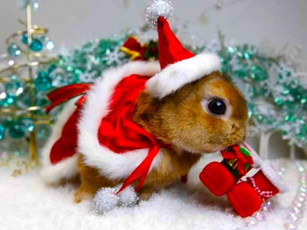 year-of-the-rabbit-bunny-in-santa-costume